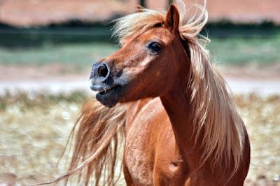 Gambar kuda poni cantik