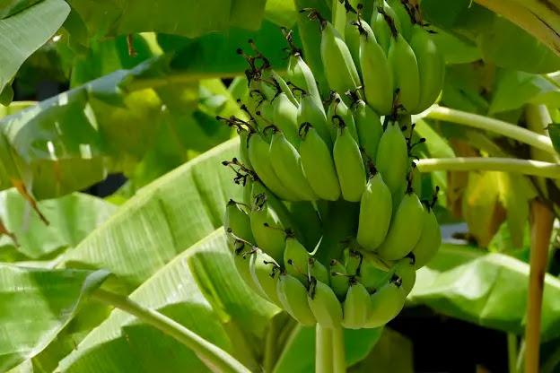Banana tree with green banana