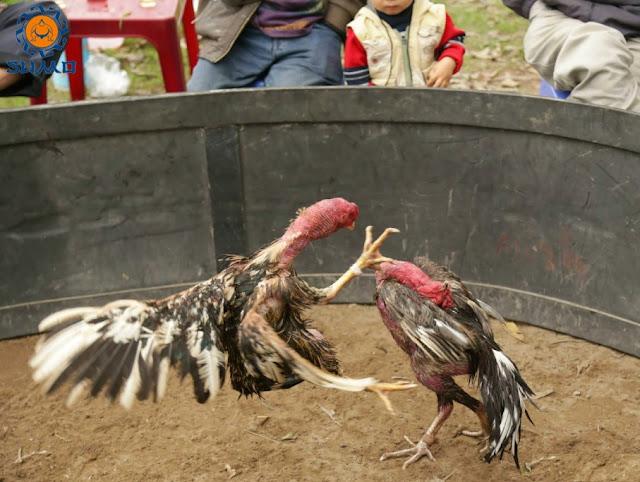 Phân biệt gà đòn và gà cựa