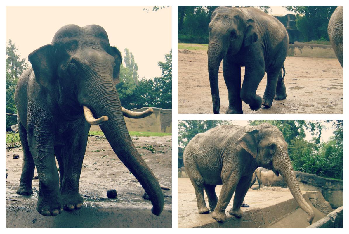Wybieg słoni.