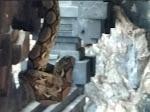 Tiba-Tiba.! Muncul Ular Python di Goa Lawah, Bali. Pertanda Corona Akan Berakhir..???
