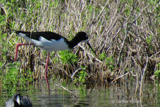 Hawaiian stilt, Hamakua Marsh, Oahu - photo by Denise Motard