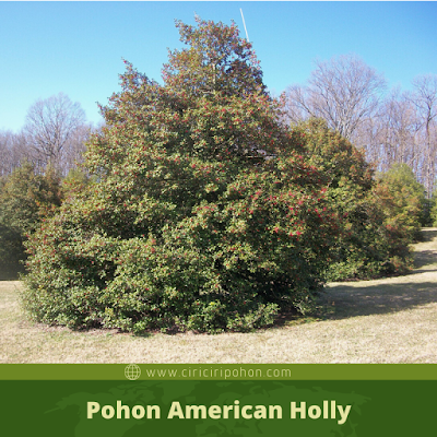 Ciri Ciri Pohon American Holly
