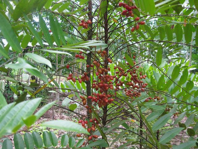 PASAK BUMI (Eurycoma longifolia Jack) TUMBUHAN OBAT  KOLEKSI UNGGULAN ARBORETUM SEMPAJA SAMARINDA