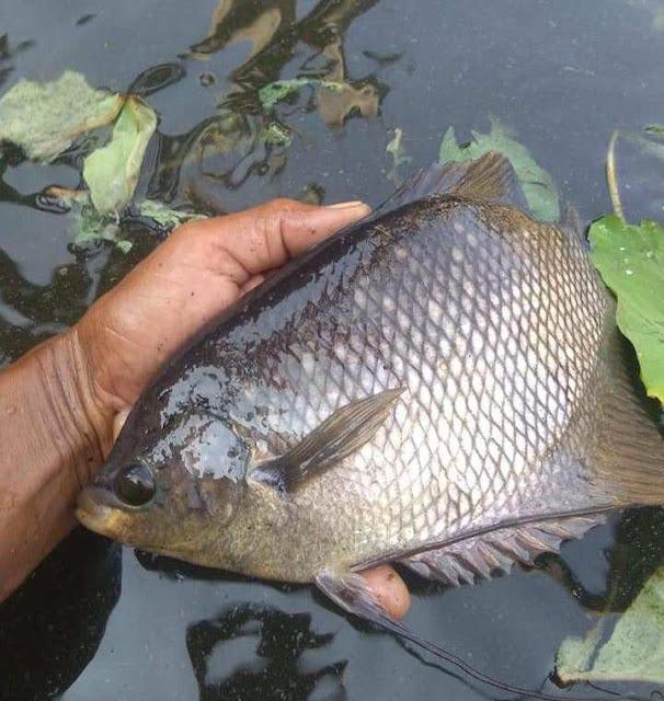 Biaya / Harga Supplier Jual Ikan Gurame Bibit & Konsumsi Mataram, Nusa Tenggara Barat
