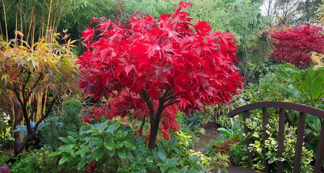 Acer palmatum 'Osakazuki' in red autumn colour