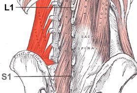 Anatomi Otot Quadratus Lumborum: Origo, Insersio, Persarafan, Dan Fungsi