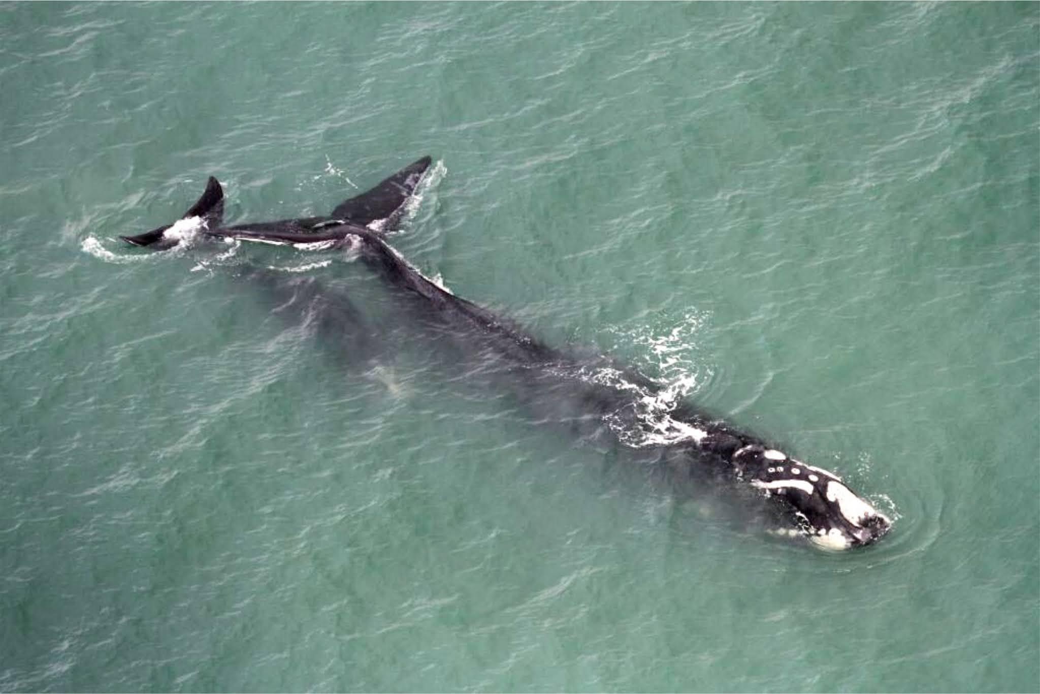 Monitoramento aéreo avista 114 baleias-francas entre Florianópolis e Torres