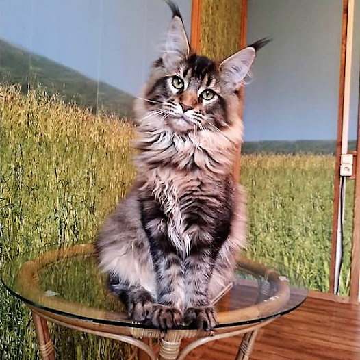 Clearly a classy Maine Coon