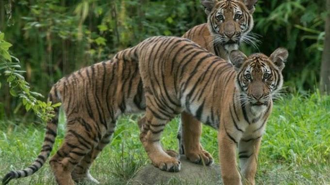 Τίγρης σε ζωολογικό κήπο βρέθηκε θετική στον κορονοϊό