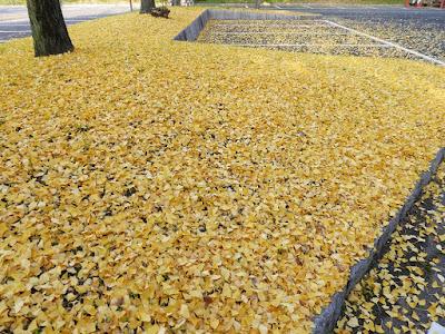 寝屋川公園 銀杏(イチョウ)の落ち葉の絨毯
