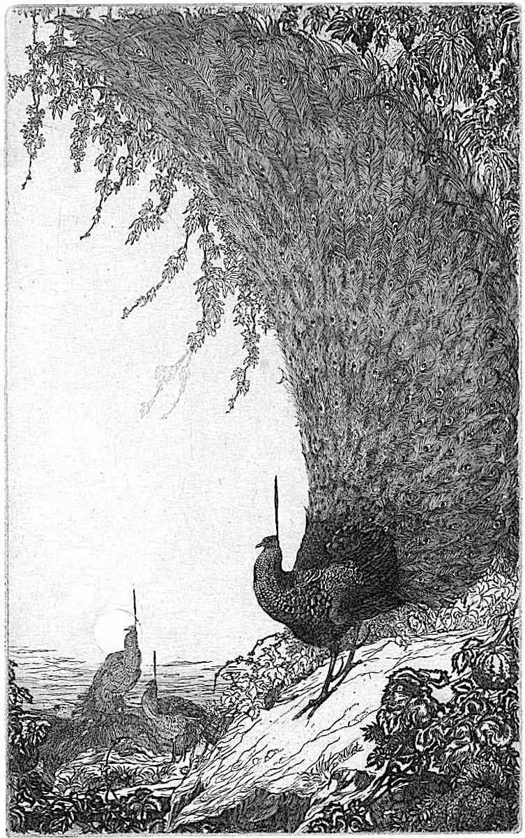 an Edward Julius Detmold illustration of peacocks in 1905