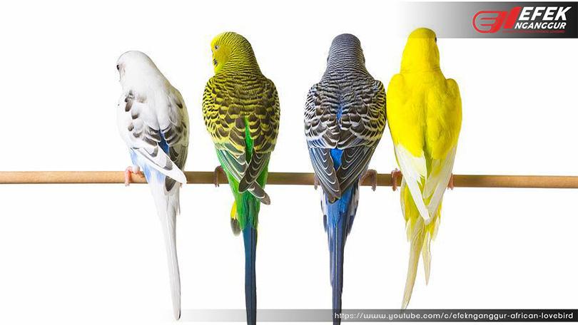 Mengenal Burung Parkit Dan Beberapa Ras Parkit Ternak Lovebird Dan Mutasi Lovebird