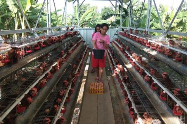 Kasihan Peternak, Harga Telur Ayam di Kandang Sempat Rp 10.500 per Kg