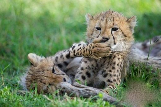 """Loạt ảnh """"hổ báo trường mẫu giáo"""" đáng yêu của động vật"""