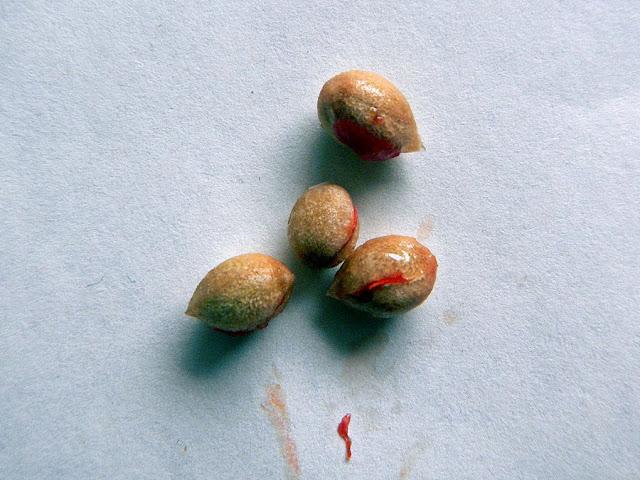 Murraja wiechowata (Murraya paniculata) - siew, uprawa z nasionka, jak wysiać murraję z pestki, ciekawe rośliny, owoce, nasiona i siewka, jak długo kiełkuje murraja, uprawa, hodowla, pielęgnacja.
