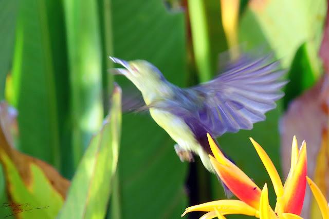 Female Sunbird jumping, Birding during Eid-Adha Holiday