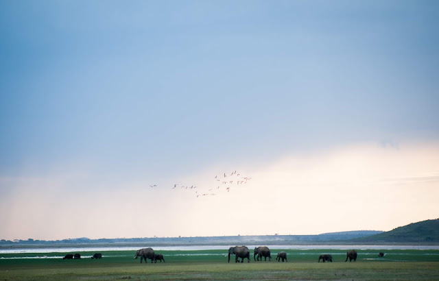 Elephants in Amboseli, Kenya