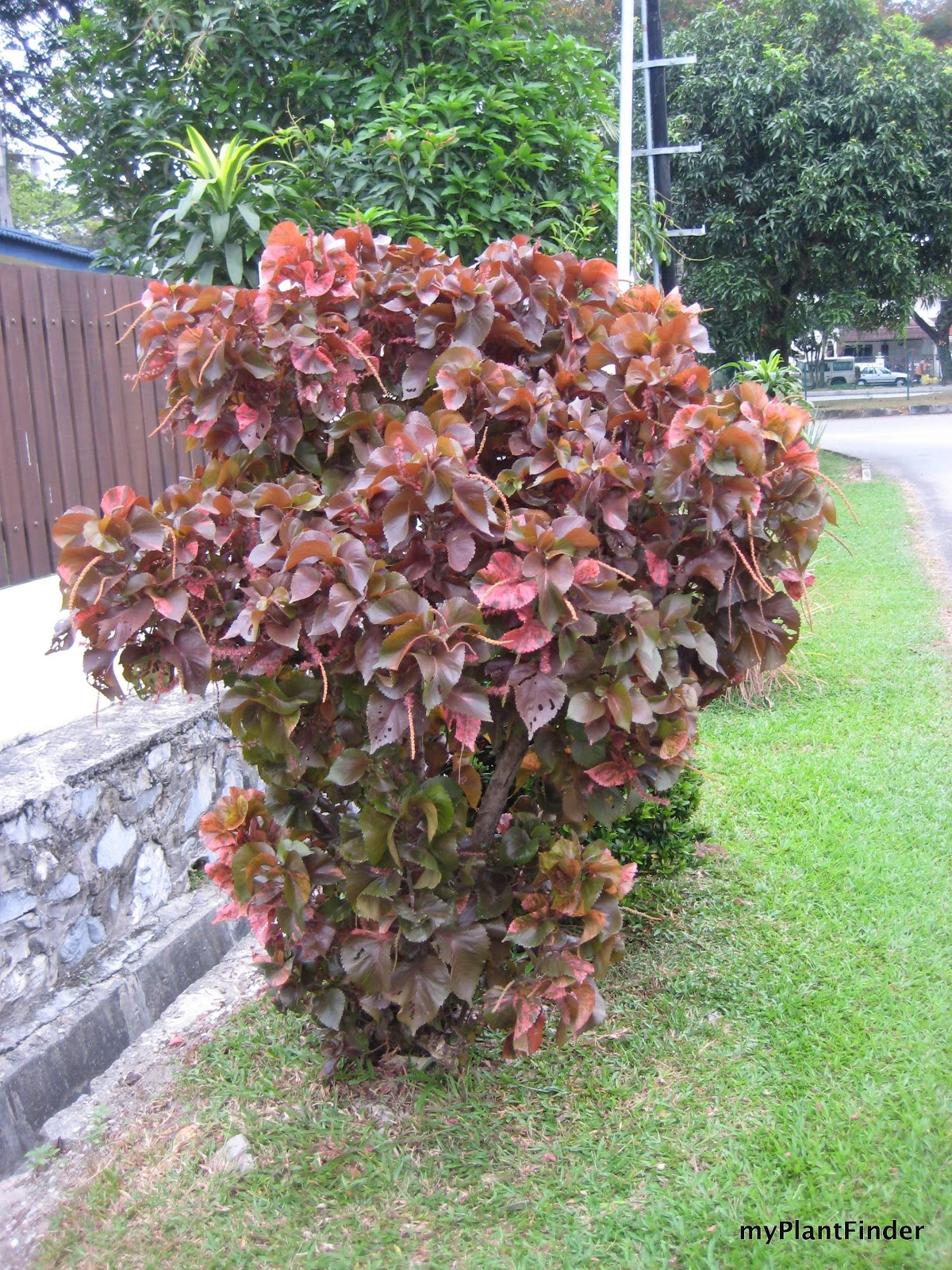 My Plant Finder Plant Guide Acalypha Wilkesiana Mosaica