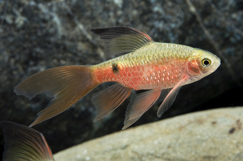 Peces y plantas ornamentales barbus conchoinus barbo rosado for Reproduccion de peces ornamentales