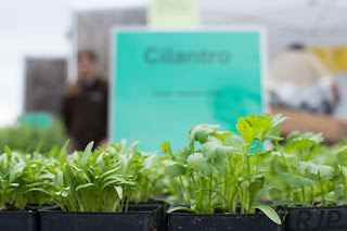 Cilantro We Will Have at the Market. Photo Cred: Reed Petersen