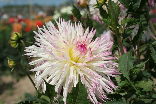 white tinged with pink cactus Dahlia flower