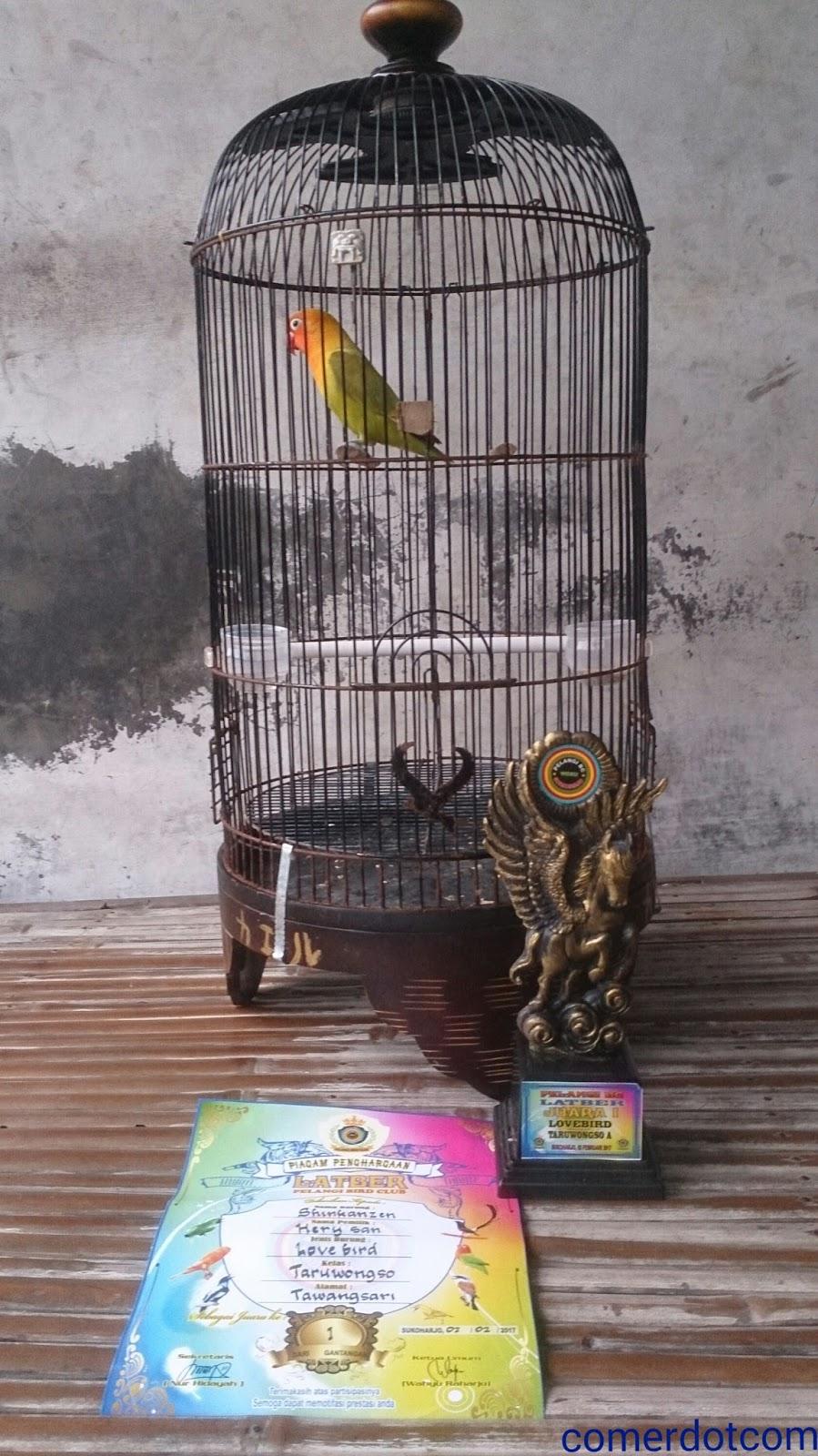 Waktu Pemasteran Lovebird Yang Tepat Dan Benar Lovebird Fighter Biography