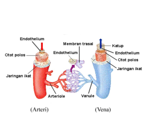 Jelaskan Perbedaan Arteri dengan Vena