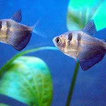 Budidaya Ikan Black Tetra Tetra Hitam Lovedfish