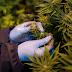 Anvisa libera venda de produtos à base de cannabis em farmácias