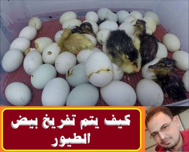 """, """"تفريخ بيض الطيور"""","""","""" """"فقس بيض الطيور"""","""""""","""""""","""""""" """"تفريخ بيض الدجاج"""","""""""","""""""","""""""" """"تفريخ بيض الدجاج البلدي"""","""""""","""""""","""""""" """"تفريخ بيض الدجاج الحبشي"""","""""""","""""""","""""""" """"تفريخ بيض الدجاج الرومي"""","""""""","""""""","""""""" """"تفريخ بيض العصافير"""","""""""","""""""","""""""" """"اساسيات تفريخ بيض الطيور"""","""""""","""""""","""""""" """"تفريخ بيض"""","""""""","""""""","""""""" """"تفريخ البيض pdf"""","""""""","""""""","""""""" """"تفريخ البيض يدويا"""","""""""","""""""","""""""" """"تفريخ الدواجن"""","""""""","""""""","""""""" """"تفقيس بيض الدجاج pdf"""","""""""","""""""","""""""" """"تفقيس بيض الطيور"""","""""""","""""""","""""""" """"تفقيس بيض الطيور في المنام"""","""""""","""""""","""""""" """"فقس البيض الطيور"""","""""""","""""""","""""""" """"فقس بيض طيور الحب"""","""""""","""""""","""""""" """"فقس بيض طيور البادجي"""","""""""","""""""","""""""" """"فقس بيض طيور الفيشر"""","""""""","""""""","""""""" """"فقس بيض الدجاج"""","""""""","""""""","""""""" """"فقس بيض العصافير"""","""""""","""""""","""""""" """"فقس بيض العصافير في المنام"""","""""""","""""""","""""""" """"فقس بيض الدجاج في المنام"""","""""""","""""""","""""""" """"فقس بيض الفراخ"""","""""""","""""""","""""""" """"فقس بيض العصفور"""","""""""","""""""","""""""" """"فقس بيض اليمام"""","""""""","""""""","""""""" """"فقس بيض"""","""""""","""""""","""""""" """"فقس بيض الفيشر"""","""""""","""""""","""""""" """"فقس البيض يدويا"""","""""""","""""""","""""""" """"فقس بيض الدجاج البلدي"""","""""""","""""""","""""""" """"فقس بيض الدجاج الرومي"""","""""""","""""""","""""""" """"فقس بيض الدجاج للبيع"""","""""""","""""""","""""""" """"جهاز تفريخ بيض الدجاج"""","""""""","""""""","""""""" """"كيفية تفريخ بيض الدجاج"""","""""""","""""""","""""""" """"مدة تفريخ بيض الدجاج"""","""""""","""""""","""""""" """"تفريخ بيض دجاج"""","""""""","""""""","""""""" """"تفريخ بيض دجاج الوادي"""","""""""","""""""","""""""" """"تفقيس بيض الدجاج"""","""""""","""""""","""""""" """"تفقيس بيض الدجاج البلدي"""","""""""","""""""","""""""" """"فقس بيض دجاج بلدي"""","""""""","""""""","""""""" """"مدة فقس بيض الدجاج البلدي"""","""""""","""""""","""""""" """"مدة تفقيس بيض الدجاج البلدي"""","""""""","""""""","""""""" """"مدة فقس بيض الدجاج البلدي في الفقاسة"""","""""""","""""""","""""""" """"تفقيس بيض الدجاج الحبشي"""","""""""","""""""","""""""" """"تفقيس بيض الدجاج الرومي"""","""""""","""""""","""""""" """"تفقيس بيض الدجاج الفرعوني"""","""""""","""""""","""""""" """"تحضين بيض الدجاج الرومي"""","""""""","""""""","""""""" """"مدة تفقيس بيض الدجاج الحبشي"""","""""""","""""""","""""""" """"مدة فقس بيض الدجاج الحبشي"""","""""""","""""""","""""""" """"تفقيس بيض دجاج الرومي"""","""""""","""""""","""""""" """"تفريخ بيض الديك الرومي"""","""""""","""""""","""""""" """"تفقيس بيض الديك الرومي في الفقاسة"""","""""""","""""""","""""""" """"تفقيس بيض الديك الرومي"""","""""""","""""""","""""""" """"تحضين بيض الديك الرومي"""","""""""","""""""","""""""" """"تفريخ بيض الرومى"""","""""""","""""""","""""""" """"تفريخ الرومي"""","""""""","""""""","""""""" """"مدة تحضين بيض الدجاج الرومي"""","""""""","""""""","""""""" """"تفقيس بيض دجاج رومي"""","""""""","""""""","""""""" """"فقس بيض العصافير الاسترالى"""","""""""","""""""","""""""" """"تفقيس بيض العصافير"""","""""""","""""""","""""""" """"تفقيس بيض العصافير في المنام"""","""""""","""""""","""""""" """"تحضين بيض العصافير"""","""""""","""""""","""""""" """"فقس بيض العصافير الا"""