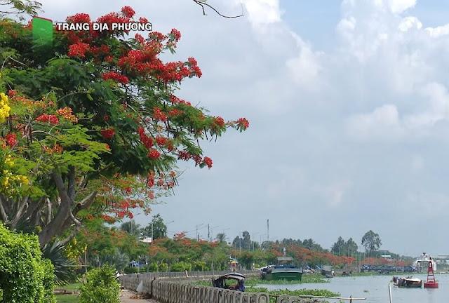 Con đường hoa phượng đỏ cặp bờ kè sông Tiền