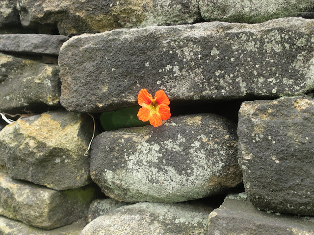 Nasturtium in Wall, with leaves between black stones. 20th August 2021