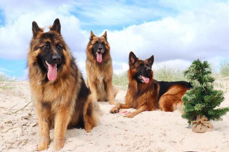 How do You Feed a German Shepherd