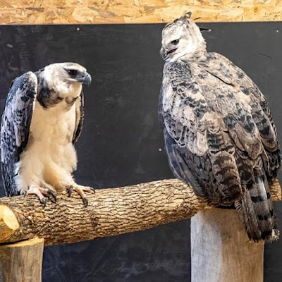 Fotos das harpias publicadas no insta do zooparc