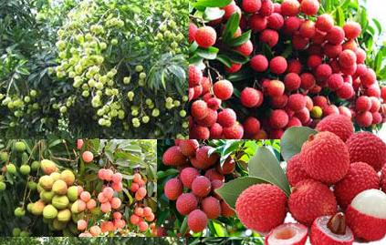 Có nên ăn nhiều quả vải không?