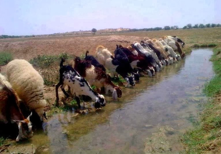 organic animal farming: Deworming program for goats