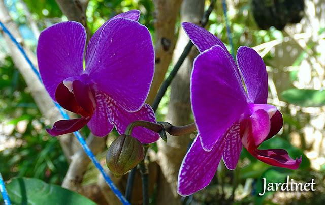 Phalaenopsis - Orquídea borboleta