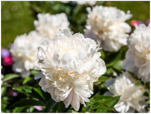 Valkoinen kiinanpioni täydessä kukassaan. (Lähikuva).