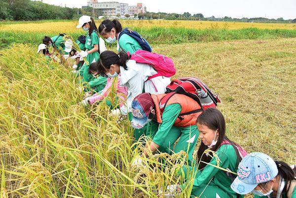 明道大學有機農場辦食農教育 小小農夫收割稻米