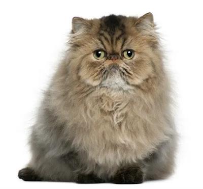 kucing termahal di dunia, kucing paling mahal di dunia, kucing termahal, jenis kucing mahal, kucing leopard harga
