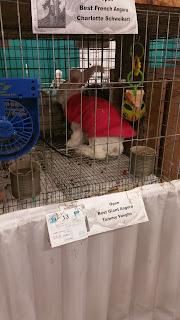 Giant Angora Rabbit