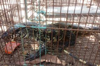 https://vnoticia.com.br/noticia/3960-secretaria-de-meio-ambiente-resgata-lagarto-em-santa-clara