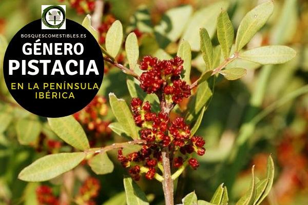 Lista de Especies del Género Pistacia, Familia Anacardiaceae en la Península Ibérica