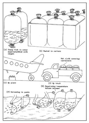 teknik pengangkutan ikan mas hidup