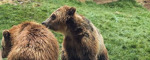 grizzly bears at vilas park zoo in madison wi