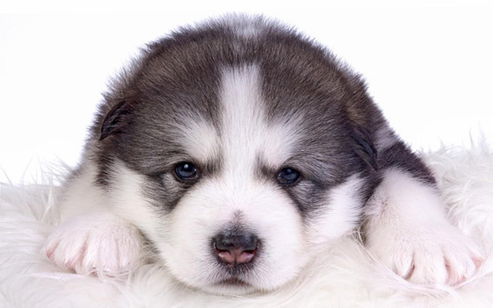 Perros Husky Siberiano Fondos De Pantalla Hd De Animales 2: Fondo De Pantalla Perros 1920x1080