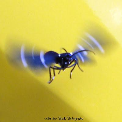 Polka Dot Wasp Moth Flying