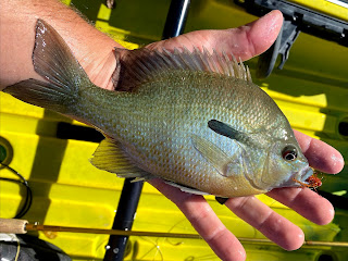 Redbreast Sunfish, Sunfish on the Fly, Fly Fishing for Sunfish, Fly Fishing the South Llano, South Llano River, Texas Fly Fishing, Fly Fishing Texas, Pat Kellner, Dac Collins, Spring-Fed Adventures
