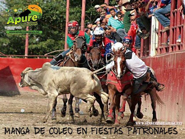 APURE: Deporte tradicional de los Toros Coleados en  llanos  de Venezuela.